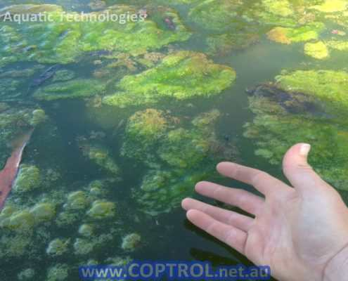 Treat Algae with Coptrol from Aquatic Technologies